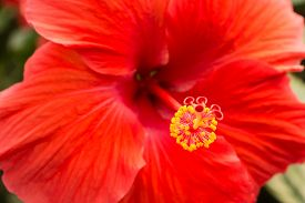 image of rosa  - Hibiscus rosa sinensis close up of red flower head - JPG