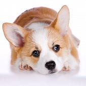 stock photo of corgi  - Pembroke Welsh Corgi puppy isolated on a white background - JPG