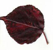 Red And Black Fall Leaf