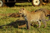 Постер, плакат: A leopard surveying the landscape with a safari truck in the background