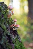 Toadstool Mushrooms