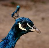 foto of pushy  - close up portrait of a male peacock - JPG
