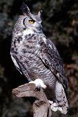 Great Horned Owl Bubo Virginianus 1
