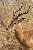Impala Ram In Bushveld
