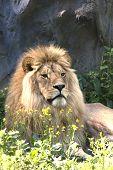 lion resting near the rock / Panthera leo leo