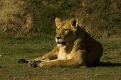 lioness / Panthera leo leo