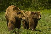 brown bear / Ursus arctos