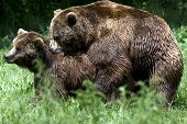 image of mating bears  - brown bear pair mating in spring  Ursus arctos - JPG