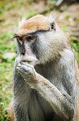 ������, ������: Patas Monkey