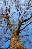 Coma oak aphyllous