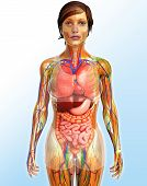 Постер, плакат: Lymphatic Skeletal Nervous And Circulatory System Of Female Body Artwork