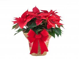 stock photo of poinsettia  - Red poinsettia Christmas plant with bow isolated on white background - JPG