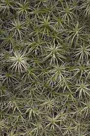 pic of tillandsia  - Air Plants also known as Tillandsia don - JPG