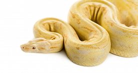 image of pythons  - Albino royal python in front of a white background - JPG