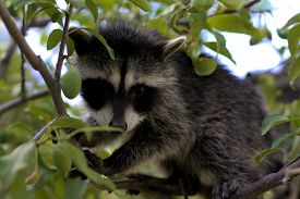 pic of raccoon  - A baby raccoon playing in a tree - JPG