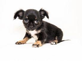 stock photo of chiwawa  - Cute Puppy long hair Chiwawa with white background - JPG