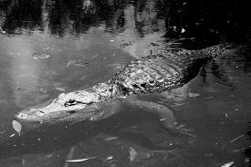 image of gator  - Florida Gator looking for its prey in black and white - JPG