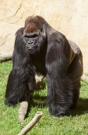 foto of gorilla  - Western lowland gorilla or Gorilla gorilla gorilla staring to the camera - JPG