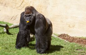 image of gorilla  - Western lowland gorilla or Gorilla gorilla gorilla eating an orange - JPG