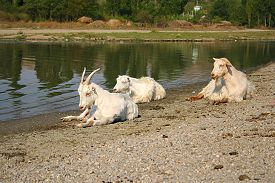 picture of inner ear  - Three white goats resting near a river on the ground - JPG