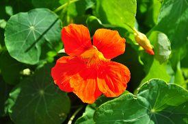 stock photo of nasturtium  - Colorful and crisp image of garden nasturtium  - JPG