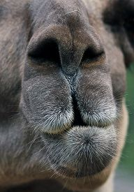 stock photo of lamas  - muzzle of a chewing curious Brown lama - JPG