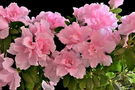 image of azalea  - Delicious floral background  - JPG