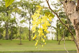 picture of cassia  - Cassia fistula known as the golden shower tree and by other names - JPG