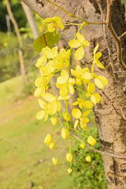 stock photo of cassia  - Cassia fistula known as the golden shower tree and by other names - JPG