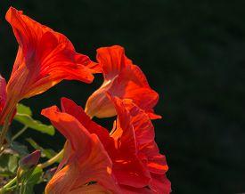 stock photo of nasturtium  - Nasturtiums opens blooms of vivid orange petals - JPG