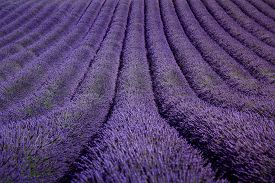 picture of plateau  - Lavender flower blooming fields in endless rows as a pattern or texture - JPG