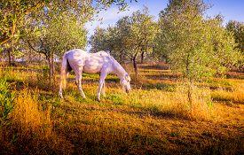 stock photo of feeding horse  - White wild horse feeding in olive orchard in Tuscany - JPG