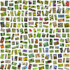 picture of siberia  - A collage of photos of medicinal plants grows in Russia - JPG