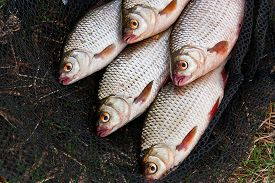 foto of fresh water fish  - Freshwater roach fish just taken from the water - JPG