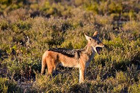 image of jackal  - Black-backed jackal Canis mesomelas in the bush Etosha National Park Namibia ** Note: Soft Focus at 100%, best at smaller sizes - JPG