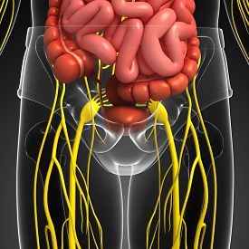 picture of girdles  - Illustration of human pelvic girdle with nervous and digestive system artwork - JPG