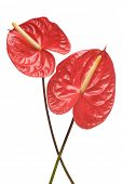 Red Anthurium flowers isolated on a white background