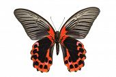 Giant birdwing butterfly from the Papilionidae family, originating from the Philippines
