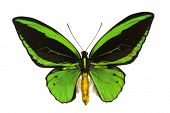 Giant emerald birdwing (O priamus poseidon) from the jungle regions of the Arfak Mountains in Indone