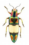 Top view of a metallic woodborer beetle or jewel beetle (chrysochroa fulgens) from the buprestidae f