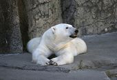 stock photo of bestiality  - Polar Bear Resting - JPG