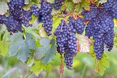 Blue Grapes On Vines