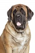 Retrato do close-up de Mastiff Inglês