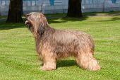 Briard Dog