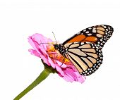 Danaus plexippus, Monarch butterfly on pink Zinnia, isolated on white