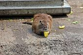 Nutria In Captivity At The Zoo - Eating Vegetables poster