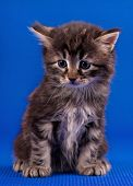 Cautious Little Siberian Kitten Over Blue Background poster