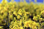 rape field bio fuel crops farming kent