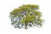 Green summer tree isolated