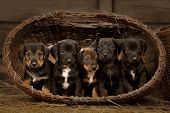 Six dachshund puppies purebred in basket.